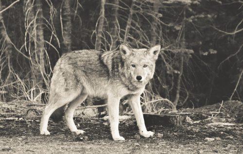 Welchen Wolf fütterst du?
