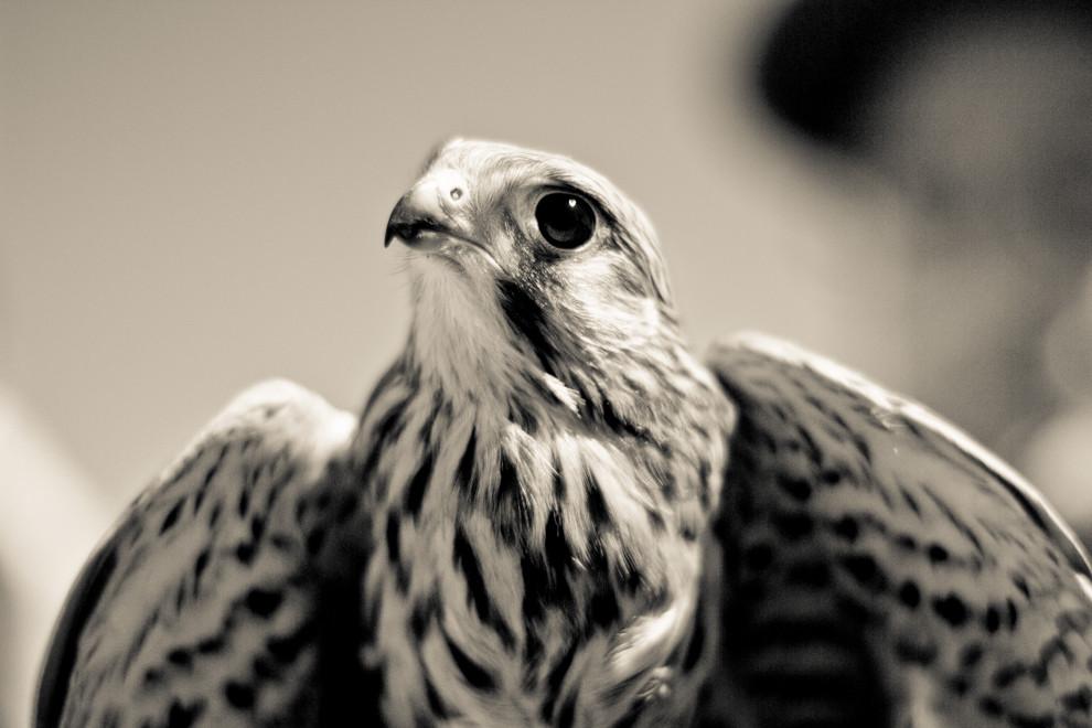 Kannst du die Falken zähmen?